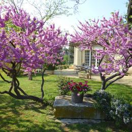 arbre de Judée au printemps  - Location de vacances - Saint-Rémy-de-Provence