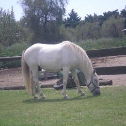 les chevaux camarguais devant les locations - Location de vacances - Saintes-Maries-de-la-Mer