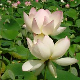 lotus dans parc thermal - Location de vacances - Barbotan Les Thermes