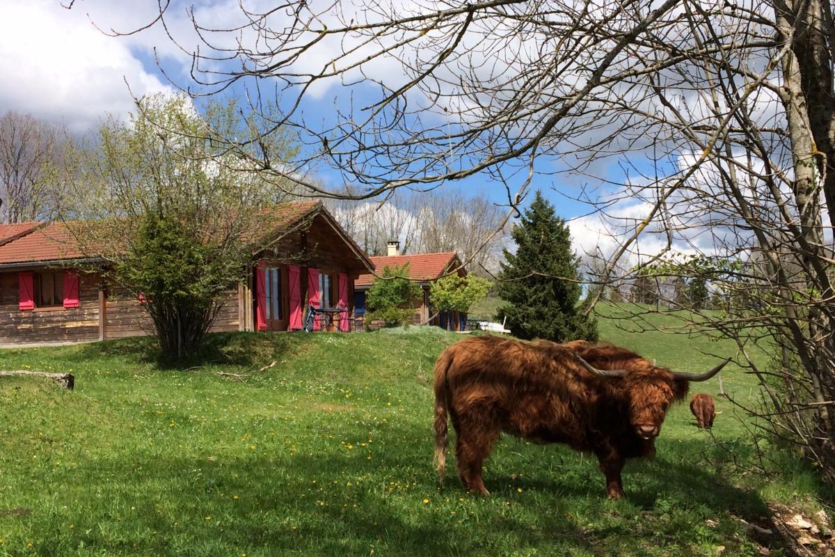 Highlands Cattle devant chalets - Location de vacances - Lent