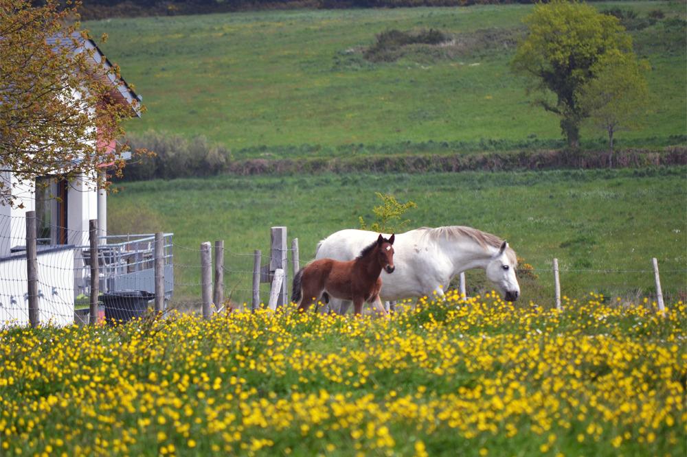 Les chevaux paissent dans les prairies des Hauts de Toulvern - Location de vacances - Baden