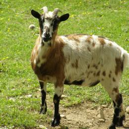 Mini Ferme - Chèvre - Location de vacances - Ruoms
