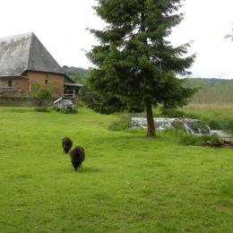 moutons d'Ouessant - Location de vacances - Montville
