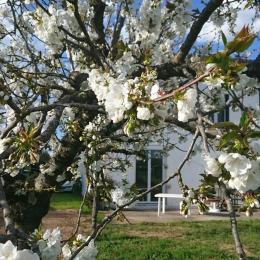 Tarn -terssac - Cerisier en fleur - Location de vacances - Terssac
