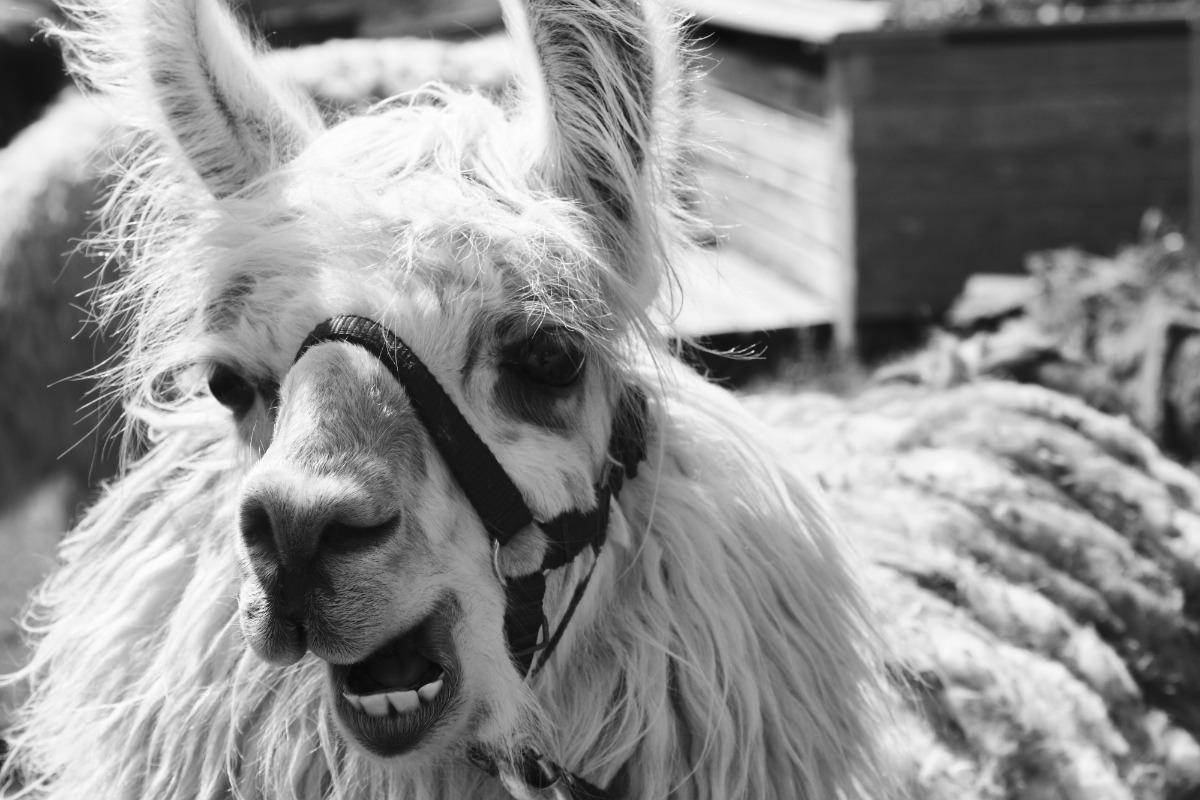Nos lamas vous accueillent avec plaisir - Location de vacances - Saint-Maurice-sur-Moselle